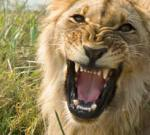 lion_roar